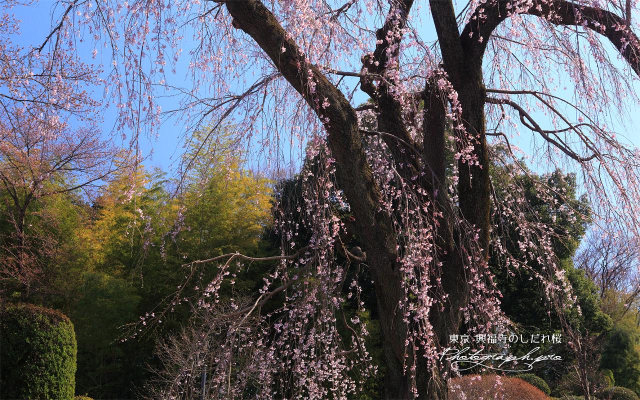 興福寺のしだれ桜 壁紙