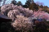 広園寺の見性桜
