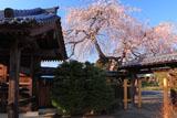 宝清寺の枝垂れ桜