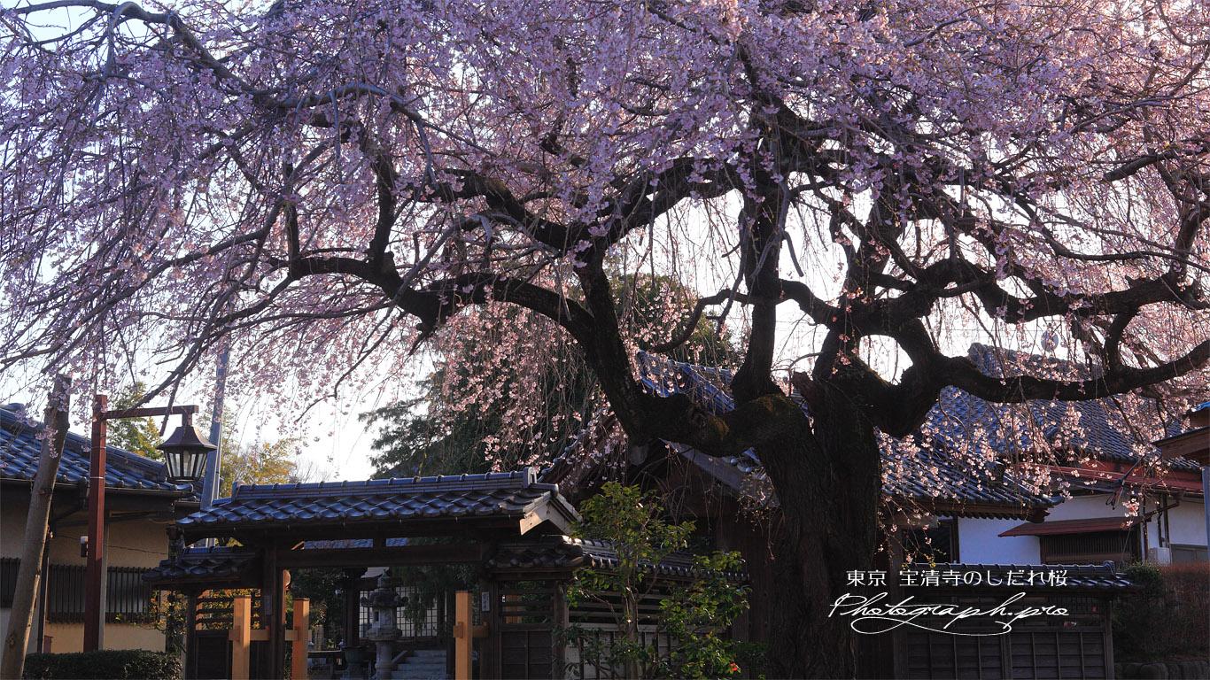 宝清寺のしだれ桜 壁紙
