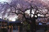 宝清寺のしだれ桜