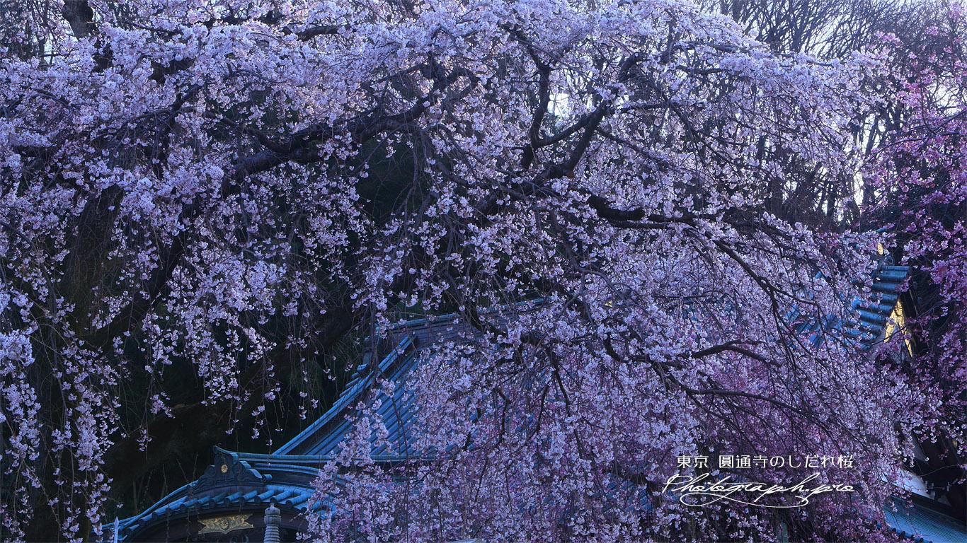 圓通寺のしだれ桜 壁紙