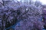 圓通寺のしだれ桜