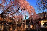 高楽寺のしだれ桜