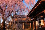 高楽寺の枝垂れ桜