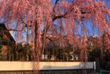 高楽寺の姫桜