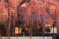 東京都の桜