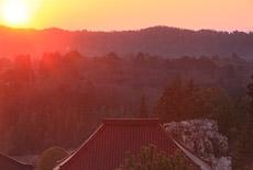 金剛寺のシダレザクラ