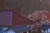 金剛寺のしだれ桜