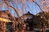 金剛寺の枝垂桜