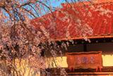 金剛寺のシダレ桜