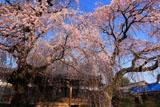 専通寺のしだれ桜