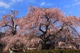 専通寺の枝垂れ桜