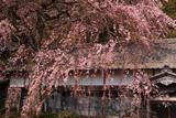 勝泉寺のシダレザクラ