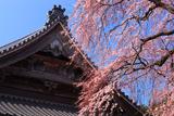 勝泉寺の枝垂れ桜