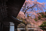 勝泉寺の枝垂桜