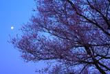 扶桑うす紅桜 十六夜の月
