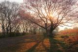 扶桑うす紅桜 朝陽