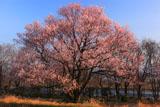 扶桑うす紅桜 江戸彼岸桜