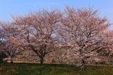 木曽川扶桑緑地公園 小渕三本桜