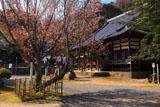 法蔵寺の桜