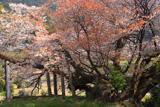 松沢寺のヤマザクラ