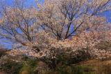 力寿姫の桜