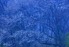 都夫良野の頼朝桜