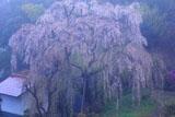 鶴牧西公園のシダレザクラ