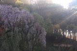 鶴牧西公園の枝垂れ桜