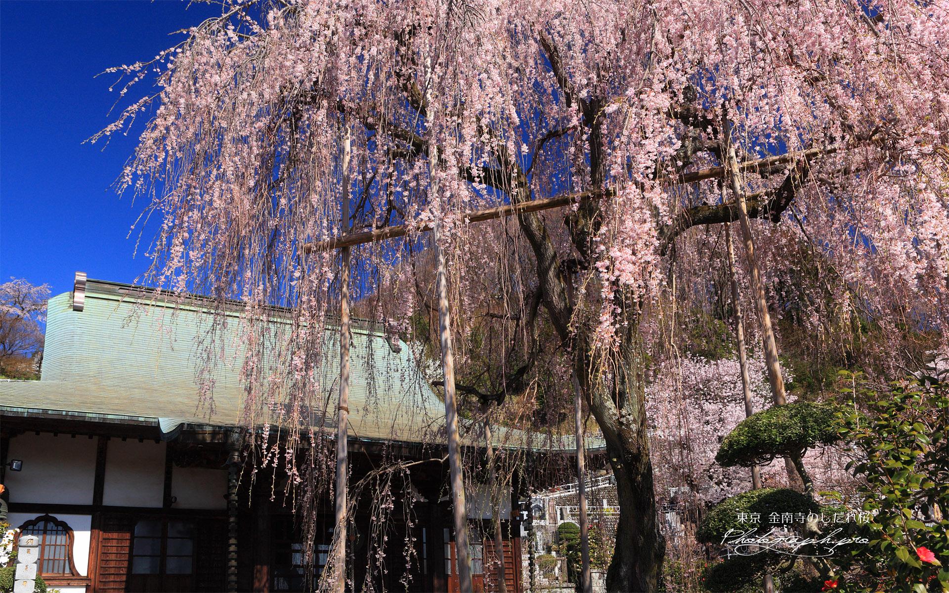 金南寺のしだれ桜