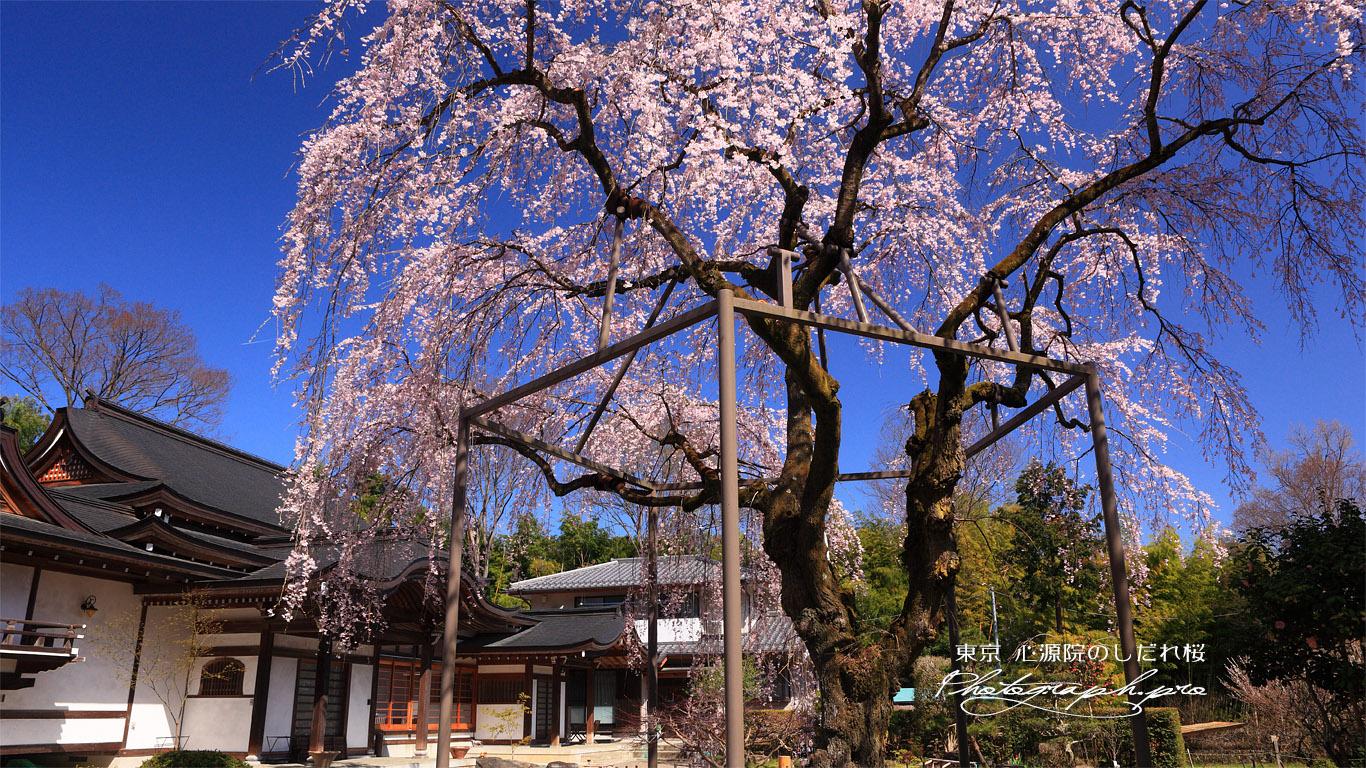 心源院のしだれ桜 壁紙