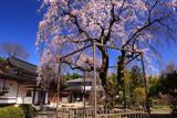 心源院のしだれ桜