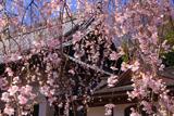 心源院の枝垂桜