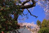 浄福寺のしだれ桜