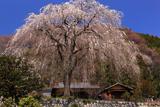 八王子市 浄福寺のシダレザクラ