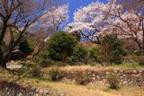 八王子市 浄福寺城跡の桜