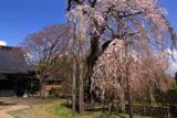 正念寺のしだれ桜
