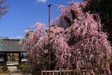 金剛寺の枝垂れ桜