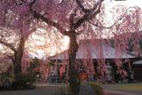 白泉寺の枝垂れ桜