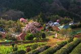 土佐原の枝垂桜