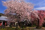 白泉寺の桜
