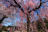 白泉寺しだれ桜