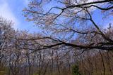 都夫良野の頼朝桜と富士山