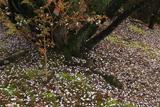 石薬師の逆桜