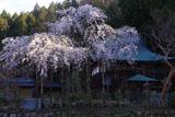 延寿院の菩提桜 本堂