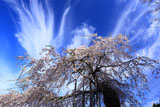 延寿院の菩提桜