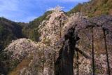 延寿院の菩提桜 朽腐した幹