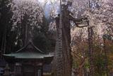 延寿院の菩提桜 観音堂