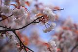 東員八重山桜